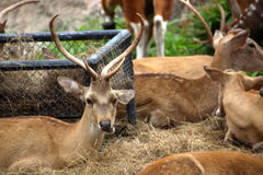 Hjort tuggar gräs Arkivfoton