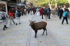 Hjortanseende bland turisten på den Nara staden Turisten kan stänga sig och mata till hjortar arkivfoto