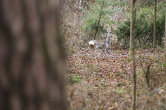 Hjortanseende i skog Royaltyfri Bild