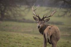 Hjortanseende på gräset Fotografering för Bildbyråer
