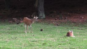 Hjortar älg, älg, däggdjur, zoodjur, djurliv stock video