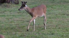 Hjortar älg, älg, däggdjur, zoodjur, djurliv lager videofilmer