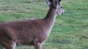 Hjortar älg, älg, däggdjur, zoodjur, djurliv arkivfilmer