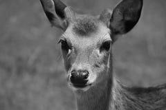 Hjortar arkivfoto