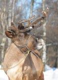 hjortar Fotografering för Bildbyråer
