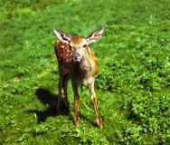 Hjortar calf.jpg arkivfoton