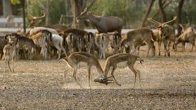 2 hjortar (eller chital) spelar tillsammans Royaltyfri Fotografi