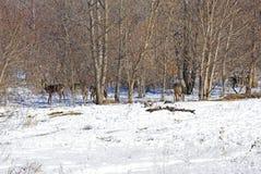 Hjortar för vit svans i träden Royaltyfri Fotografi