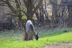 Hjortar för vit svans i träna Arkivfoto