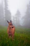 hjortar fylld dimmaäng Arkivbild