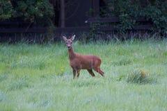 hjortar gräs red Royaltyfri Fotografi