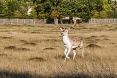 Hjortar hem parkerar, Surrey, England, Förenade kungariket royaltyfria foton