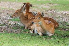 Hjortar hjortar av zoo Thailand Arkivfoton