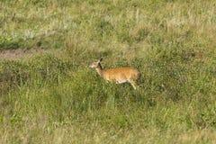 Hjortar i Black Hills fotografering för bildbyråer