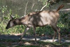 Hjortar i den Khao Yai nationalparken, Thailand Royaltyfria Bilder