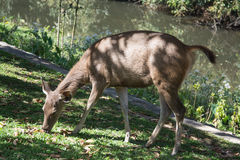 Hjortar i den Khao Yai nationalparken, Thailand Arkivfoto