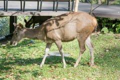Hjortar i den Khao Yai nationalparken, Thailand Arkivbilder