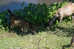 Hjortar i den Khao Yai nationalparken, Thailand Royaltyfria Foton