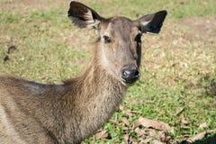 Hjortar i den Khao Yai nationalparken, Thailand Fotografering för Bildbyråer