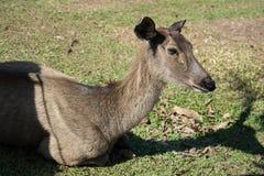 Hjortar i den Khao Yai nationalparken, Thailand Royaltyfri Bild