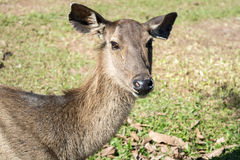 Hjortar i den Khao Yai nationalparken, Thailand Royaltyfri Fotografi