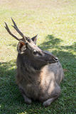 Hjortar i den Khao Yai nationalparken, Thailand Royaltyfri Foto