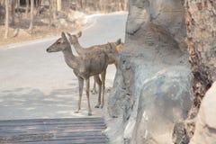 Hjortar i den thai zoo Arkivfoton