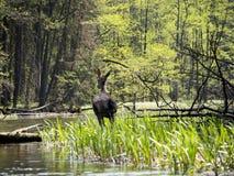 """Hjortar i den Wigry nationalparken på floden för Czarna HaÅ """"cza Royaltyfri Foto"""