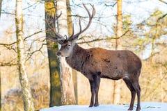 Hjortar i det mest forrest i höst-/vintertid med bruna leafes, sno royaltyfria bilder