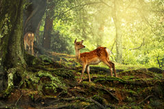 Hjortar i det wild fotografering för bildbyråer