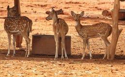 Hjortar i djurlivfristad royaltyfri fotografi