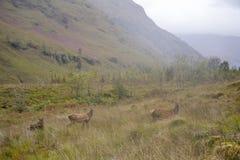 Hjortar i en äng för högt berg i högländer nära Glen Coe i Skottland Arkivfoton