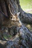 Hjortar i en hjort parkerar på den Todai-ji templet, Japan Royaltyfri Bild