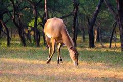Hjortar i en skog Royaltyfri Bild