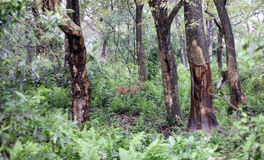 Hjortar i en skog Royaltyfri Fotografi