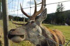 Hjortar i en skog fotografering för bildbyråer