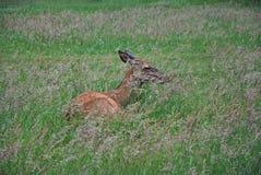 Hjortar i ett gräs Royaltyfria Bilder