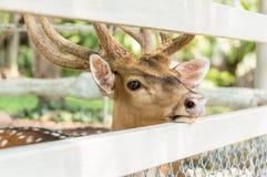 Hjortar i fångenskap i zoo Arkivfoton