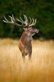 Hjortar i fullvuxna hankronhjorten för röda hjortar för skogen, bölar det majestätiska kraftiga vuxna djuret utanför höstskogen,  Royaltyfri Bild