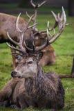 Hjortar i gräset Arkivfoto