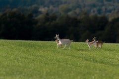 Hjortar i grönt fält på sommardag royaltyfri bild