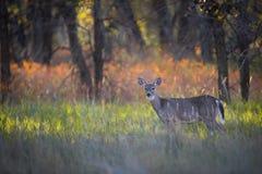 Hjortar i höst Arkivfoto