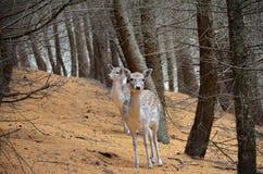 Hjortar i höst Royaltyfri Fotografi