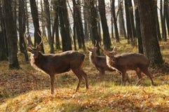 Hjortar i höstskogen Fotografering för Bildbyråer