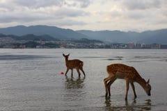 Hjortar i Japan Arkivbilder