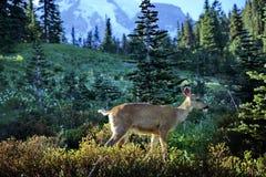 Hjortar i Mount Rainier USA arkivfoton