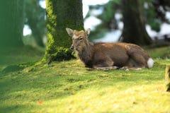 Hjortar i Nara parkerar Japan Arkivfoto