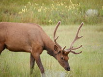 Hjortar i nationalpark Arkivfoton
