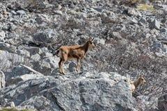 Hjortar i nationalparken av Picos de Europa, Cantabria, Spanien fotografering för bildbyråer
