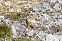 Hjortar i nationalparken av Picos de Europa, Cantabria, Spanien royaltyfri fotografi